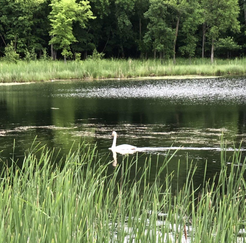 Trumpeter Swan in Minnesota