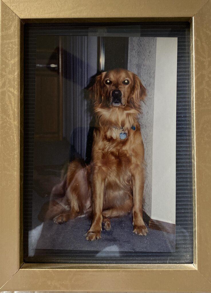 Golden Retriever Sam-dog named Samantha.